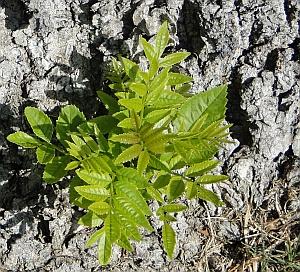fraxinus excelsior leaves
