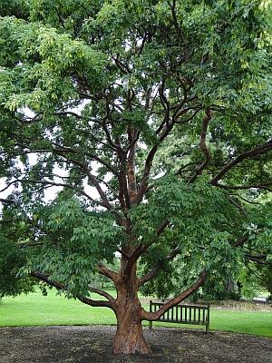 Acer griseum, paperbark tree