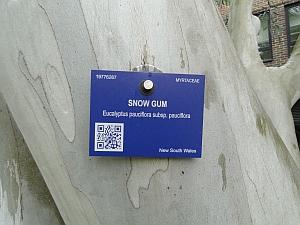 snow gum bark