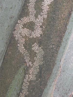 mottled bark spinning gum