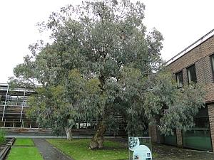 Spinning gum tree