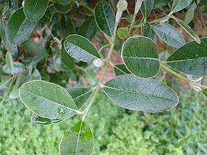 Feijoa sellownia leaves