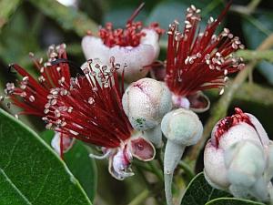 Feijoa sellownia flowers