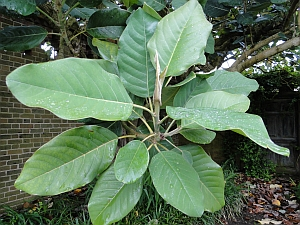 Magnolia delavayi leaves