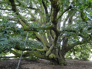 Kew Turner's oak