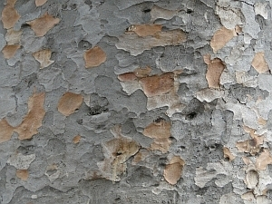 Agathis robusta bark
