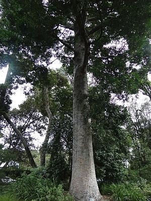 Agathis robusta tree