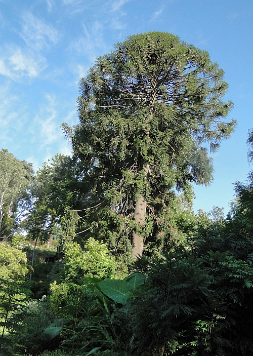 Araucaria bidwillii in the sun!