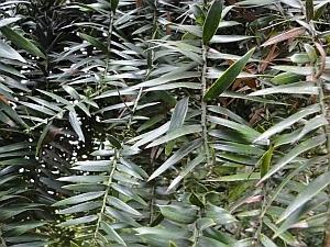 Araucaria bidwillii leaves