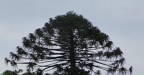 Araucaria bidwillii crown