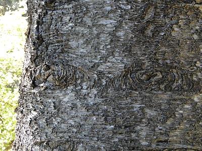 Araucaria cunninghamii bark