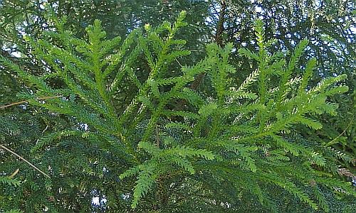 Araucaria cunninghamii leaves