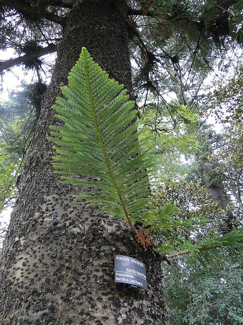 Araucaria heterophylla bark and branchlet