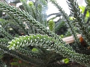 Araucaria montana leaves