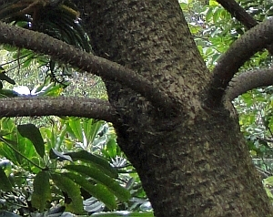 Araucaria subulata bark