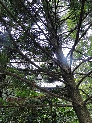 Araucaria subulata trunk and branches