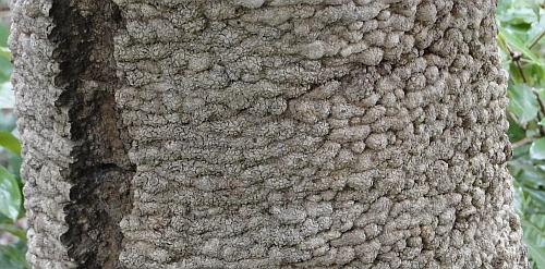 Banksia serrata bark
