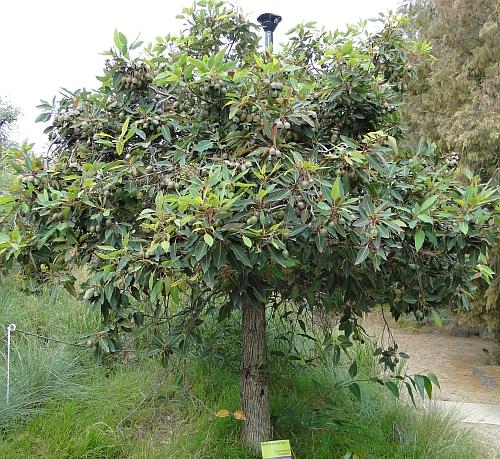 Corymbia ficifolia 'summertime'