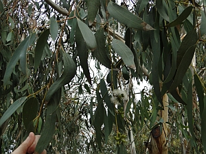 Eucalyptus pauciflora leaves