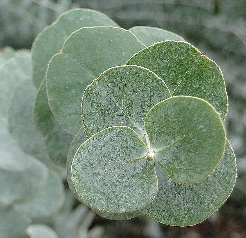 Eucalyptus pulverulenta - close-up of leaves