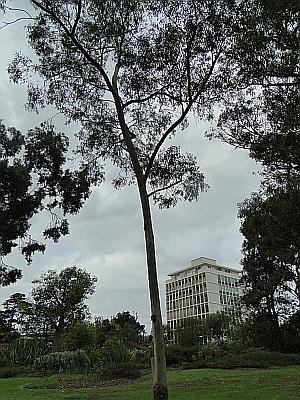 Eucalyptus rossii tree