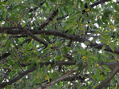 Ficus obliqua leaves and yellow fruit