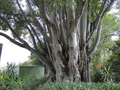 Ficus obliqua trunk