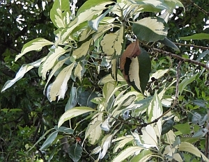 Lophostemon confertus 'Variegatus' leaves