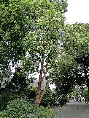 Lophostemon confertus 'Variegatus' tree