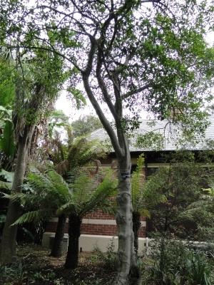 Myrsine howittiana tree
