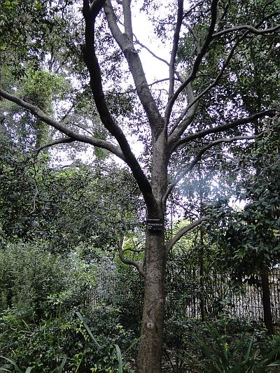 Syzygium luehmannii