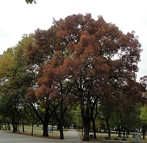 purple ash tree