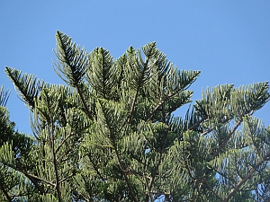 Araucaria heterophylla branchlets against the sky