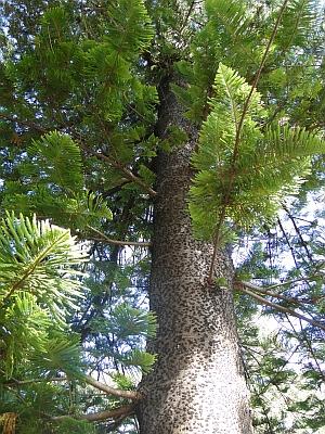 Araucaria heterophylla branchlets