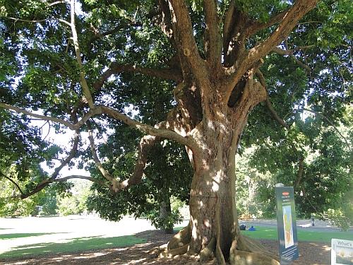 Argyrodendron actinophyllum tree