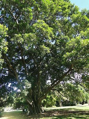 Ficus watkinsiana tree