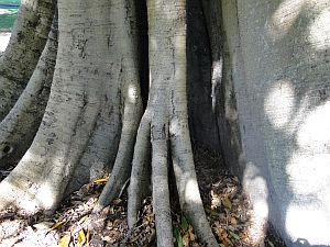 Ficus watkinsiana trunk