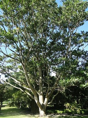 Flindersia schottiana tree