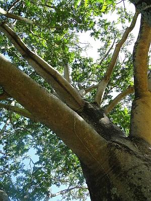 Flindersia schottiana bark