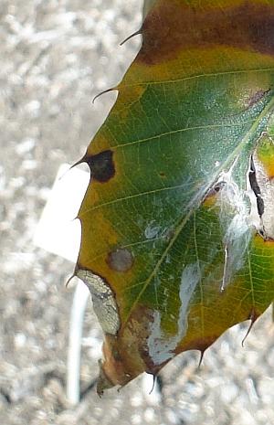 Quercus acutissima leaf