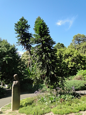 Wollemia nobilis melbourne with the I Wish statue