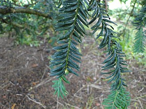yew tree leaves