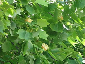 tulip tree flowers