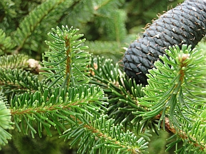 Abies delavayi leaves and cone