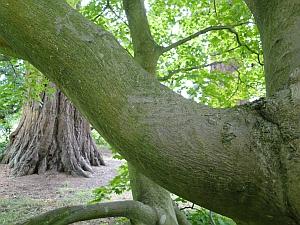 Acer japonicum bark