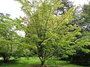 Acer morifolium tree