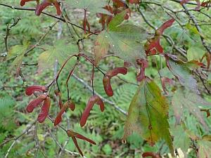 Acer palmatum 'sanguineum' leaves