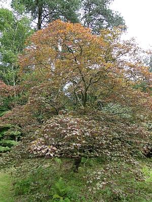 Acer palmatum 'sanguineum'