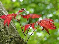 Acer palmatum 'Atropurpureum' leaves