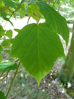 Acer pensylvanicum leaf